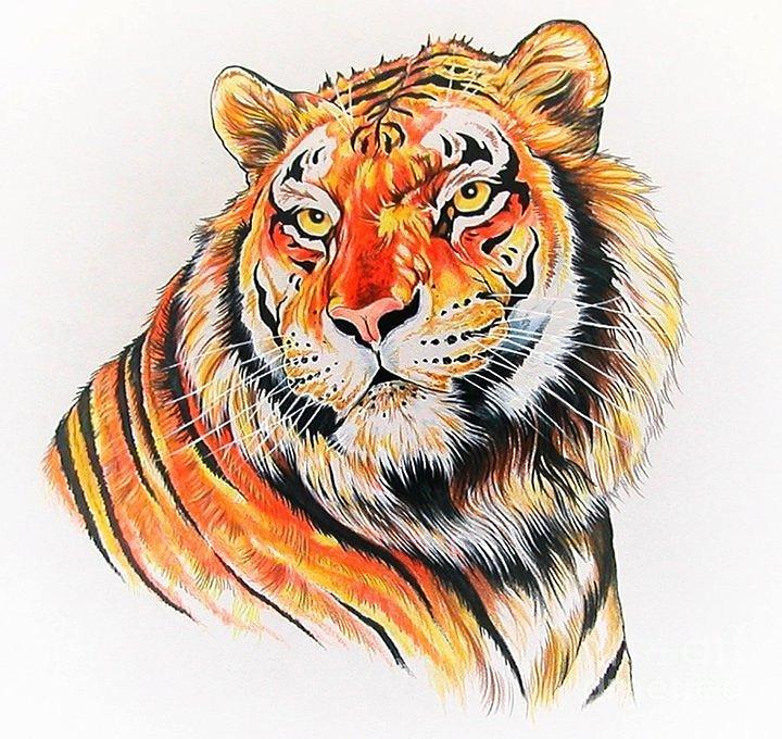 720x680 Bengal Tiger Drawing By Kimberlee Ketterman Edgar