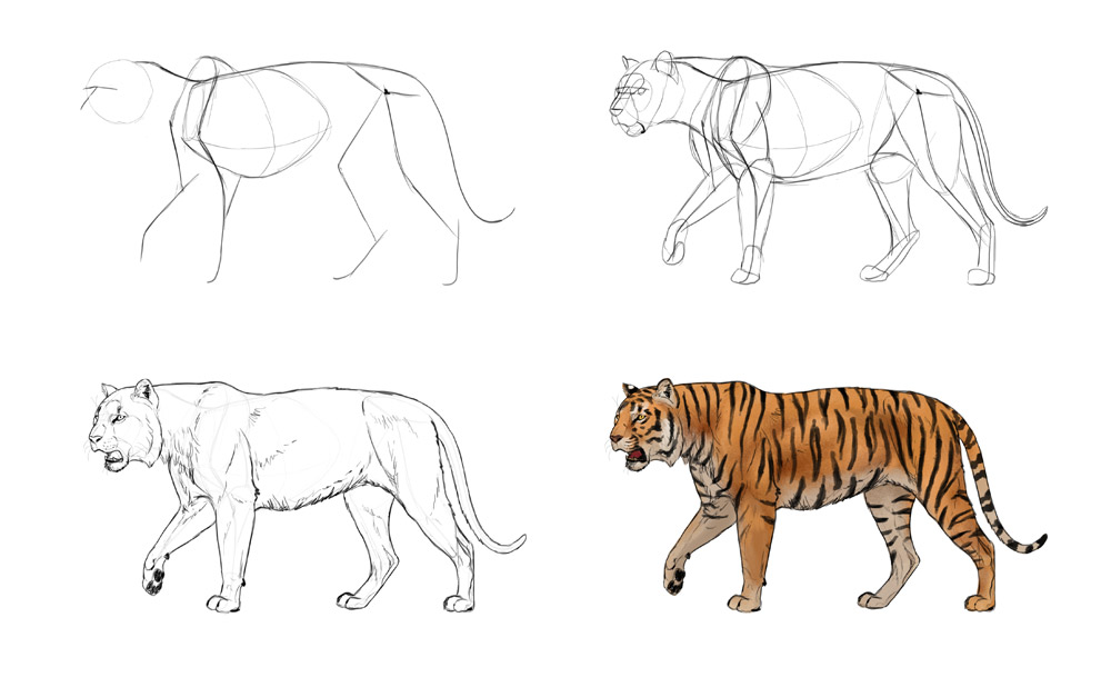 1000x618 How To Draw Big Cats Lions, Tigers, Cheetahs, And Much More