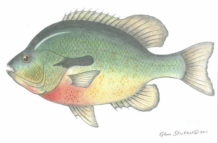 900x591 Red Breasted Fish Drawing By Glenn Strickland