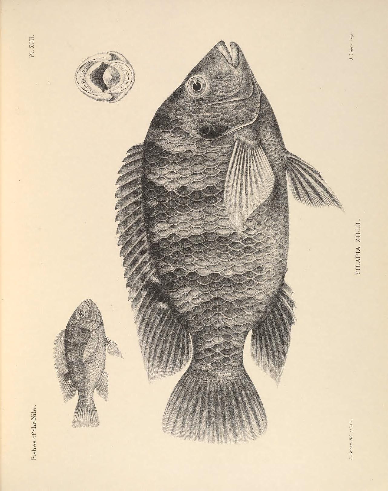 1282x1624 Redbelly Tilapia (Tilapia Zillii) Idaho Fish And Game