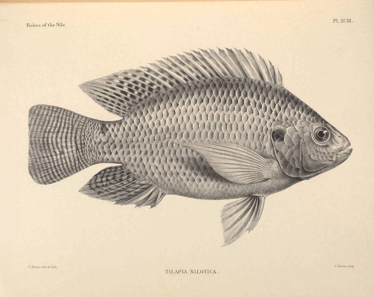 1280x1018 Scientific Illustration The Nile Tilapia, Oreochromis Niloticus