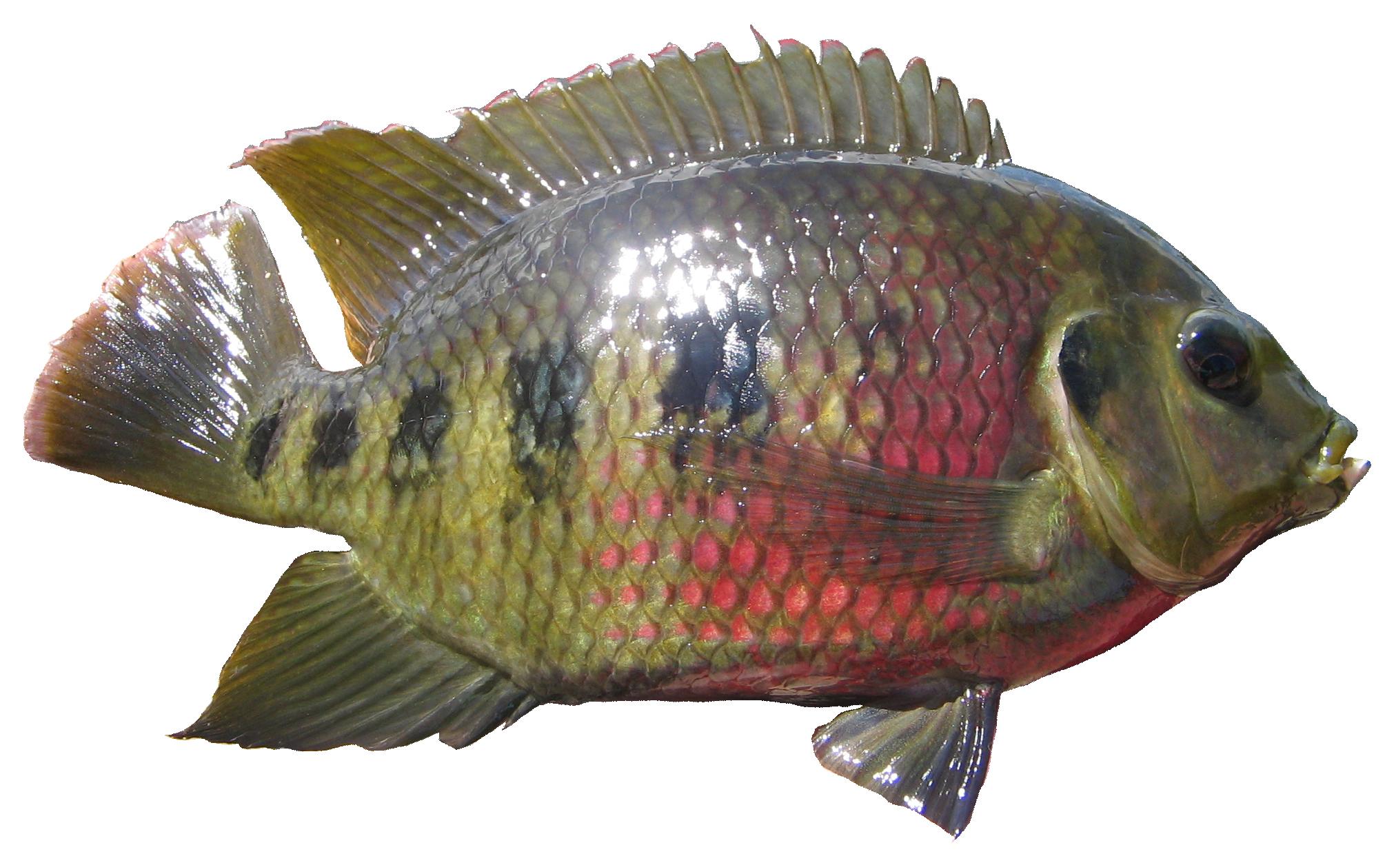 2009x1239 Spotted Tilapia.jpg