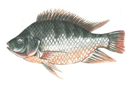 413x291 Tilapia Drawing