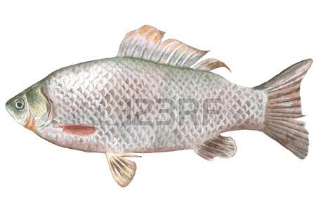 450x319 Carp Fish Drawing Royalty Free Cliparts, Vectors, And Stock