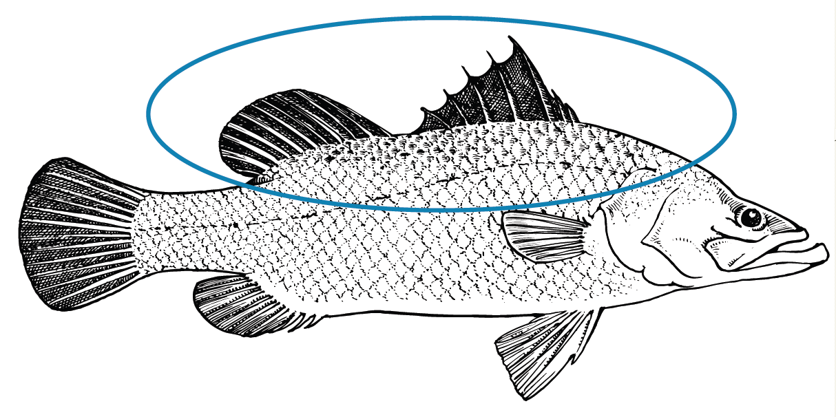 Tilapia Fish Drawing at GetDrawings.com | Free for personal use ...