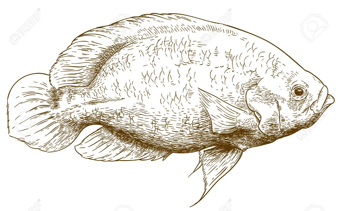 Tilapia Fish Drawing At Getdrawings Free For Personal Use