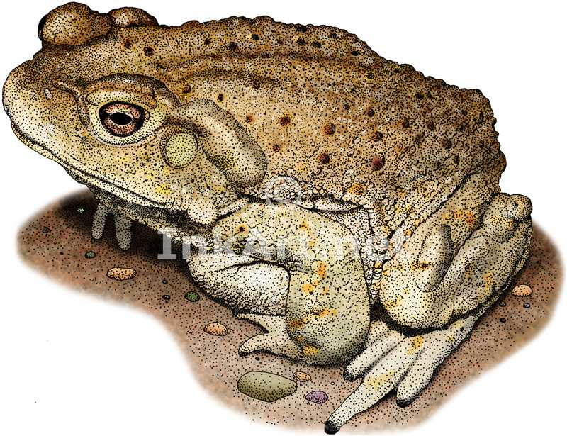 800x615 Colorado River Toad Toad, Draw And Frogs
