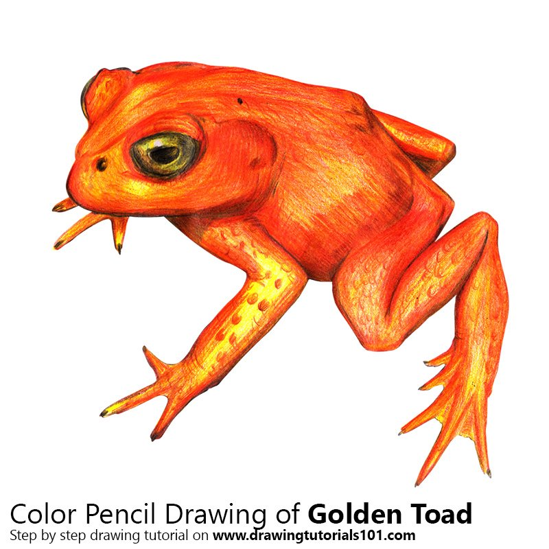 800x800 Golden Toad Colored Pencils
