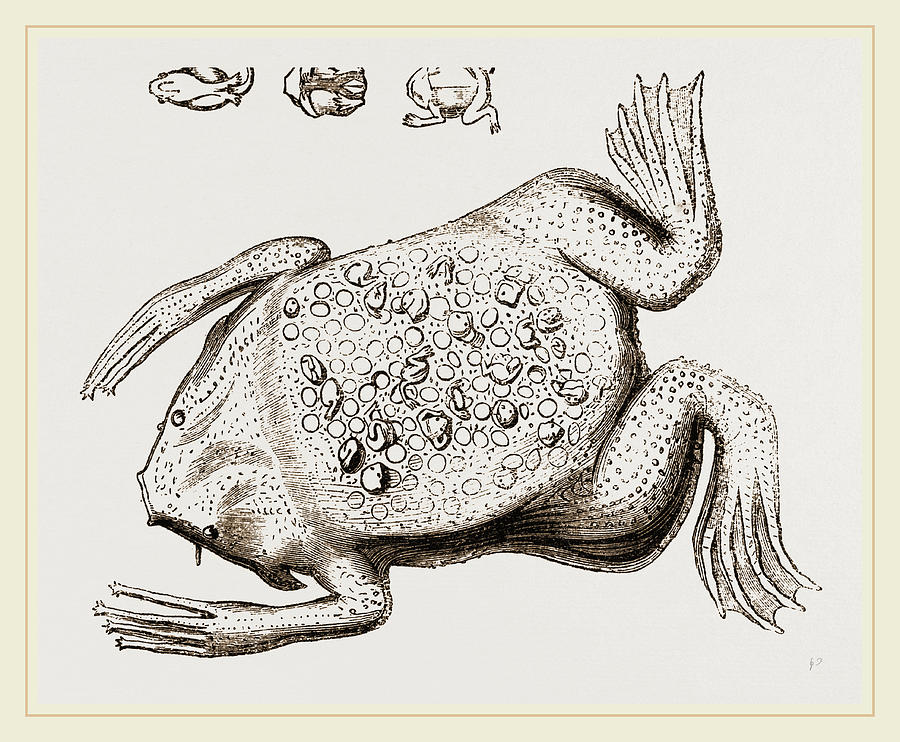 900x742 Surinam Toad Drawing By Litz Collection