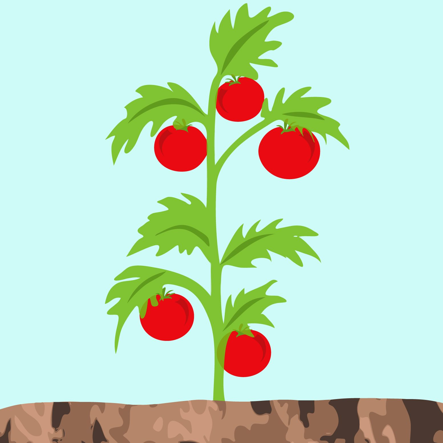Tomato Plant Drawing At Free For Personal Use Prune Tomatoes Diagram Of 1553x1553 Image Result Illustration