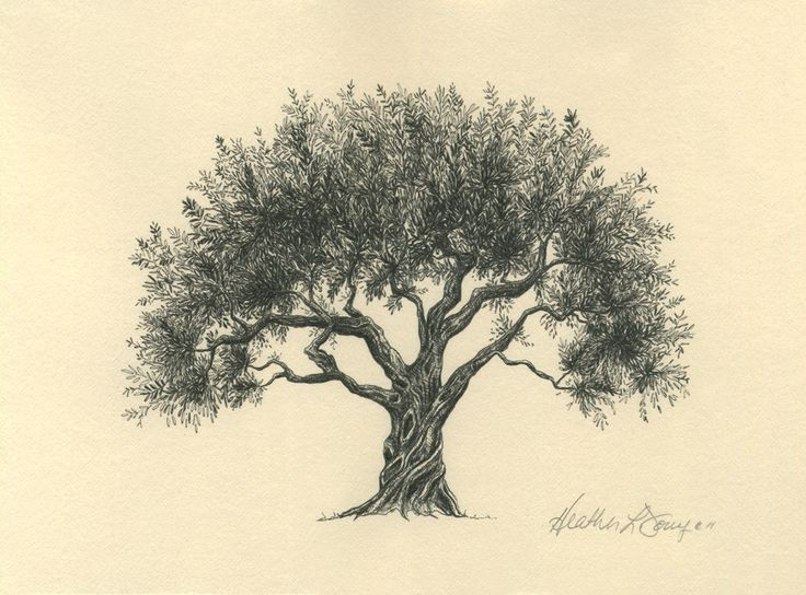 736x544 Olive Tree Drawing Pen And Ink Fine Art Print On By Theinklab