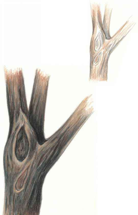 541x842 Sketch The Trunk And Apply The Lightest Tones