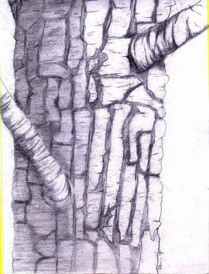 305x400 Tree Bark Drawing