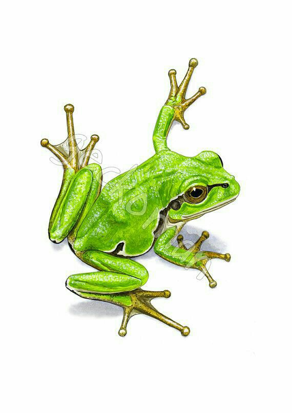 Tree Frog Drawing at GetDrawings | Free download