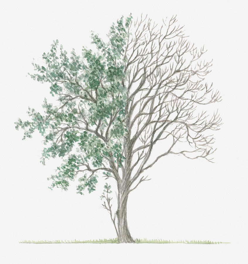 847x900 Illustration Showing Shape Of Crataegus Rhipidophylla (Hawthorn
