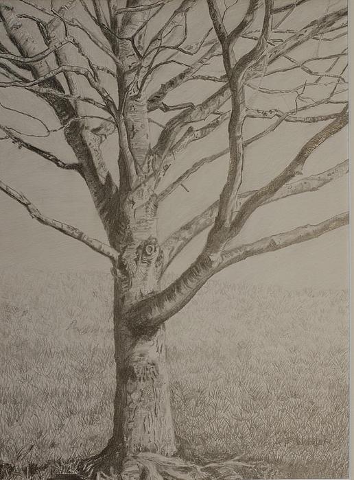 516x700 Maple Tree In Winter (Drawing