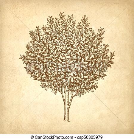 450x470 Bay Laurel Tree. Ink Sketch On Old Paper Background. Hand