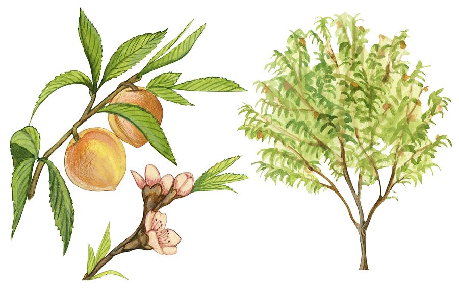 900x564 Peach Tree Drawing By Anonymous