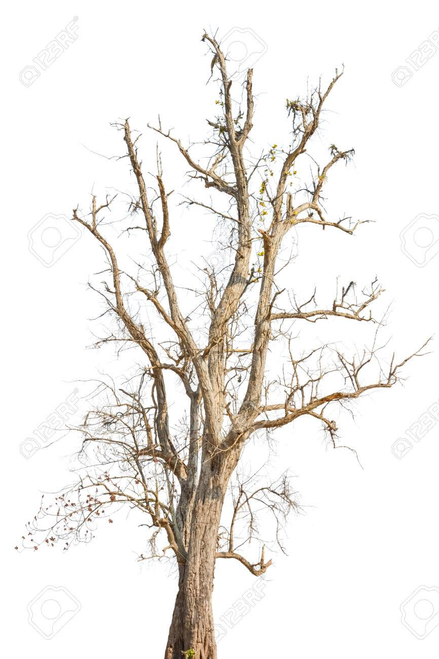 866x1300 Old Tree In Autumn With No Leaves, Isolated On White Background