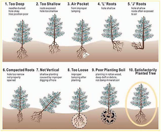 635x524 Arbor Day Tree Planting Instructions City Of Edmonton