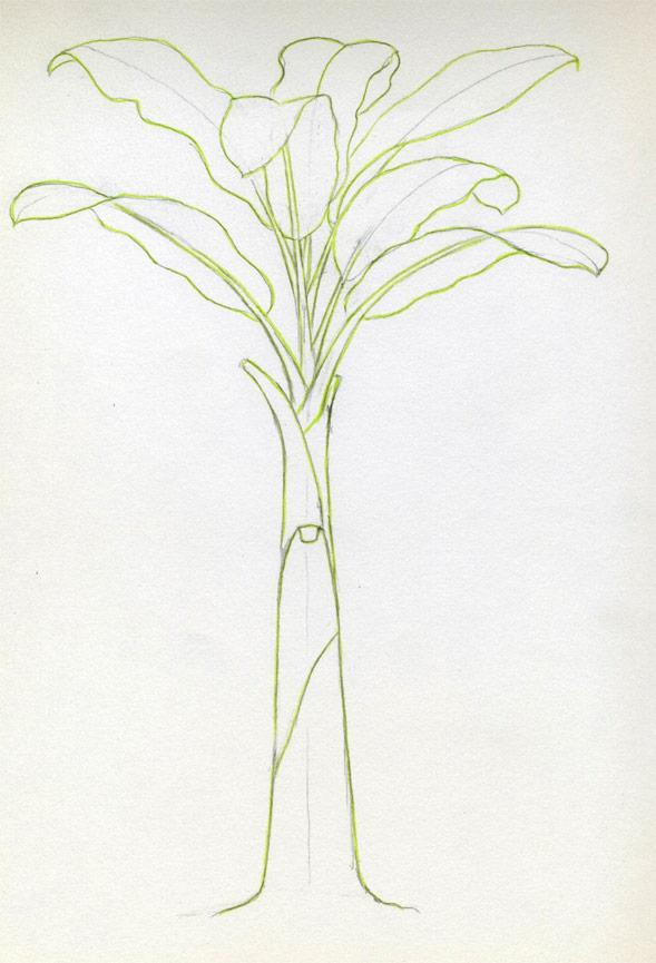 589x865 How To Draw Banana Tree