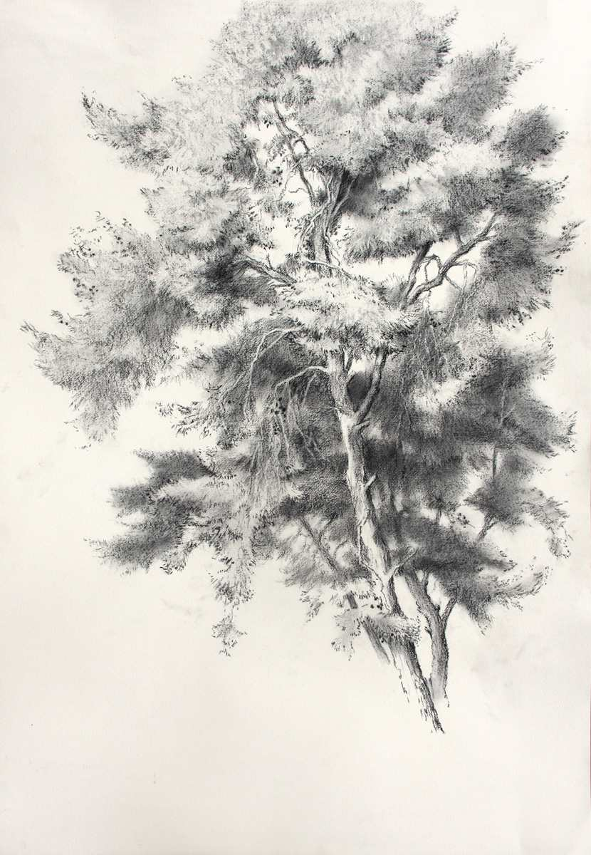 830x1200 Pine Tree, Charcoal On Paper, 89x61 Cm Charcoal Drawings