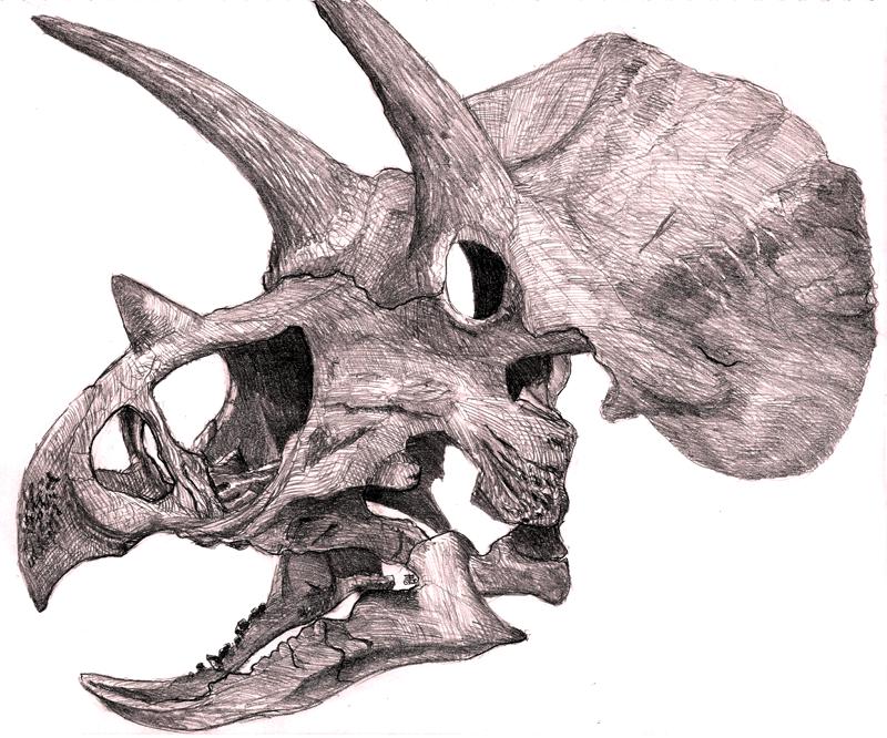 800x666 Triceratops Head Skeleton