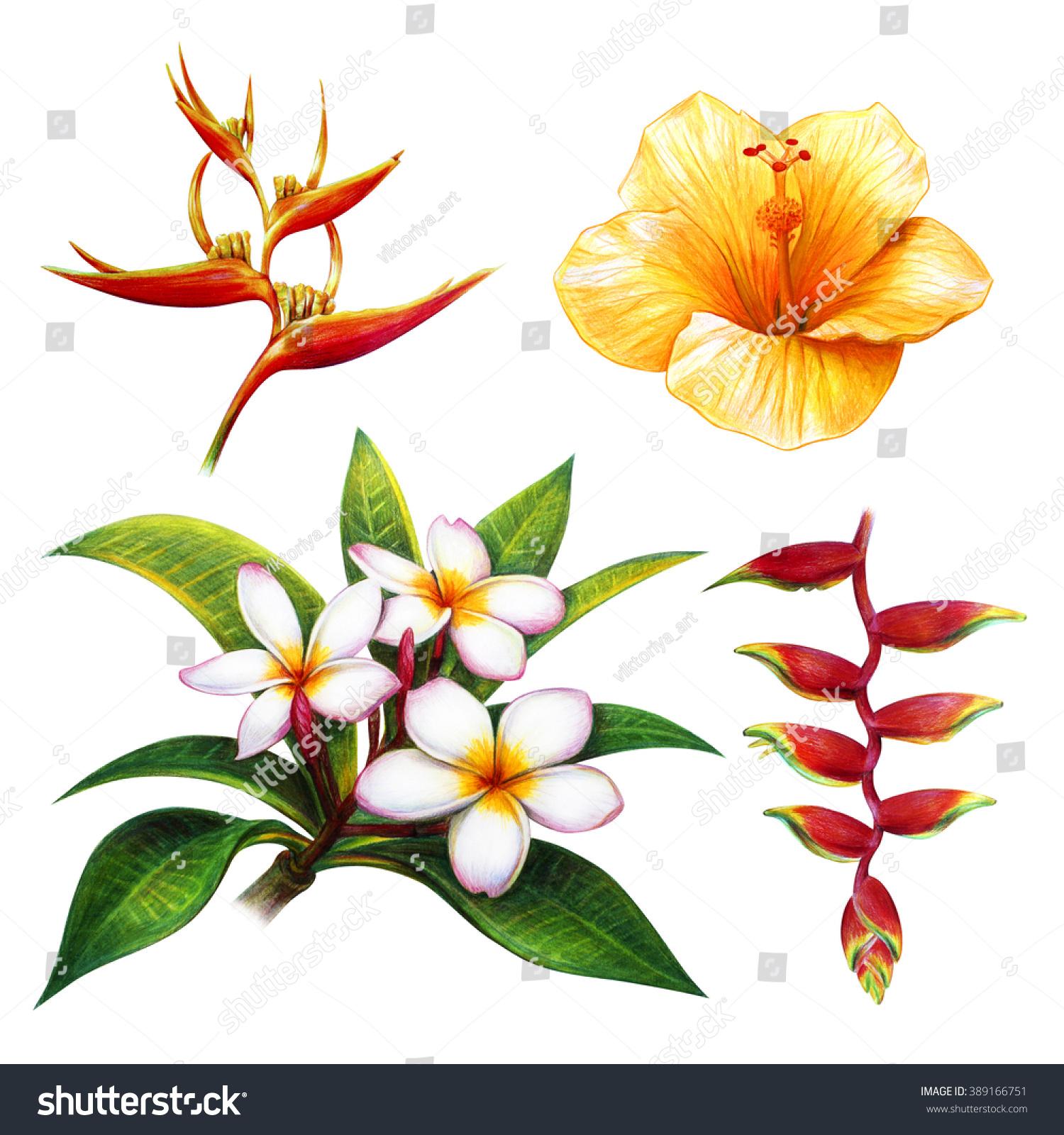 1500x1600 Tropical Flower Drawing Tropical Flower Drawing Set Frangipani