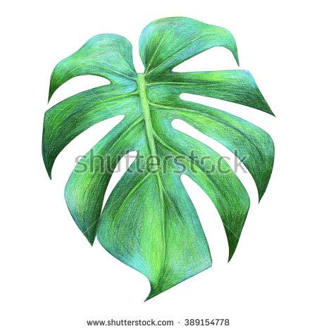 450x470 Tropical Leaf Drawing. Dragon Leaf. Colored Pencil Drawing