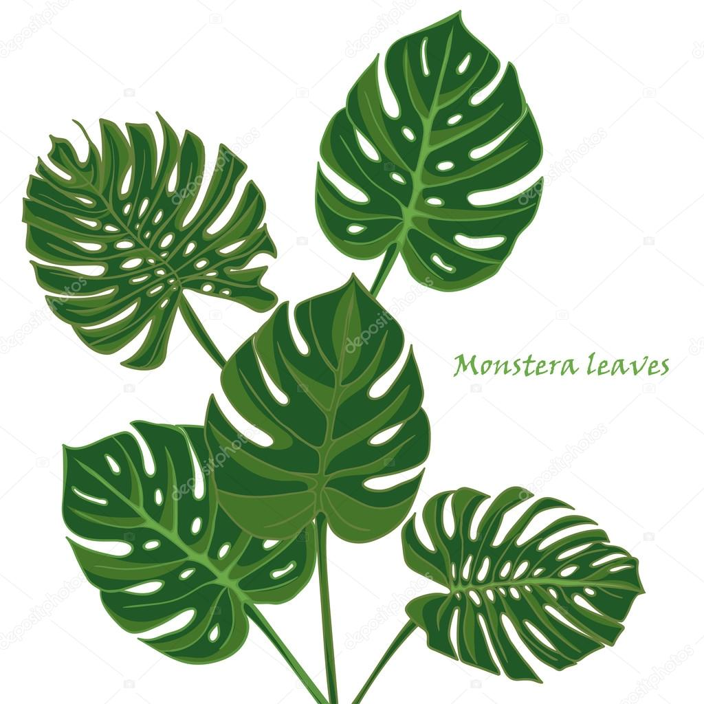 1024x1024 Set Tropical Monstera Leaves. Realistic Drawing In Vintage Style