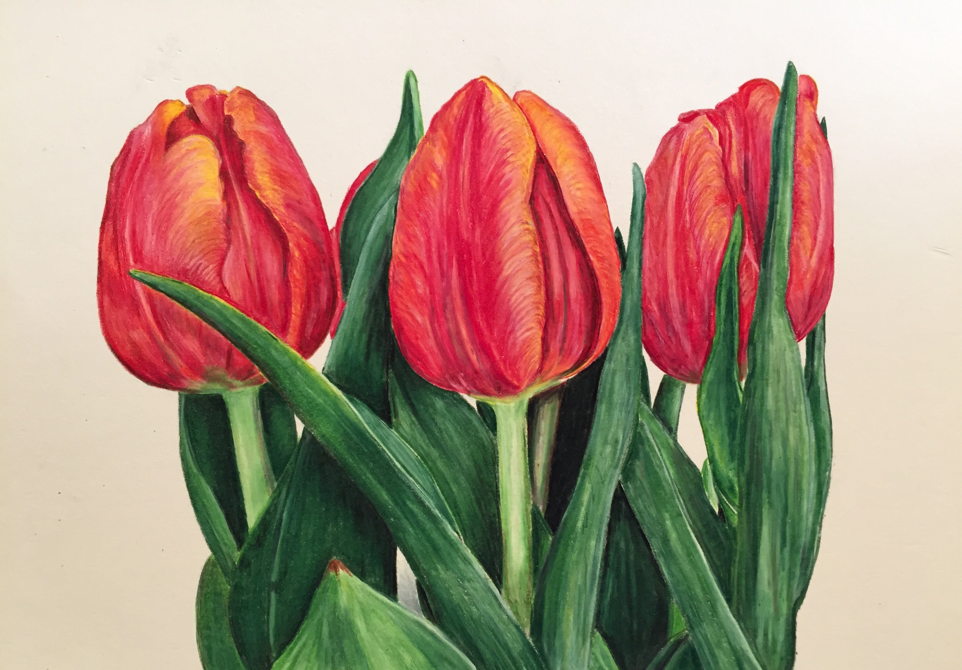 Tulip Drawing at GetDrawings.com | Free for personal use Tulip ...