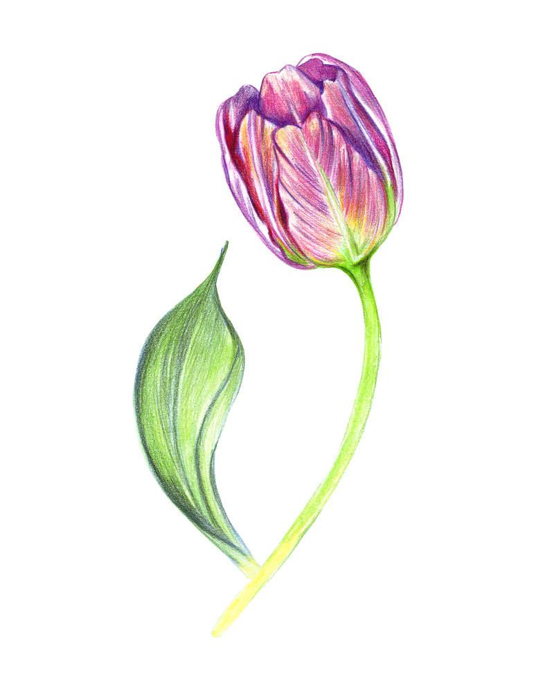 800x1000 Purple Painted Tulip. Colored Drawing Flower Art Handmade