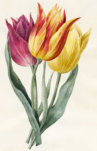 192x300 Tulips Drawings Fine Art America