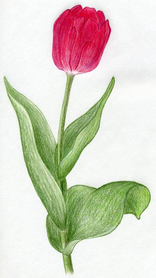 500x889 Tulip Flowers In Few Easy Steps