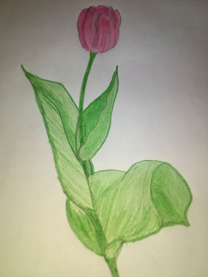 670x893 How To Draw A Tulip 10 Steps (With Pictures)