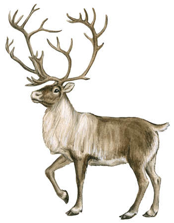 351x450 Caribou, Or Reindeer, Are Found In The Arctic Tundra And Boreal