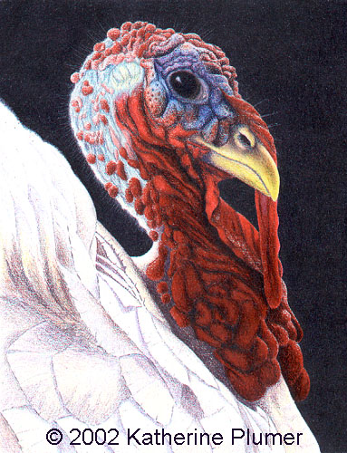 383x500 Katherine Plumer Fine Art Poultry Drawing A Regal Fellow Turkey