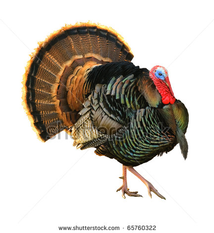 432x470 Drawings Of Turkey Heads Turkey Tom Strutting His Stuff With Red