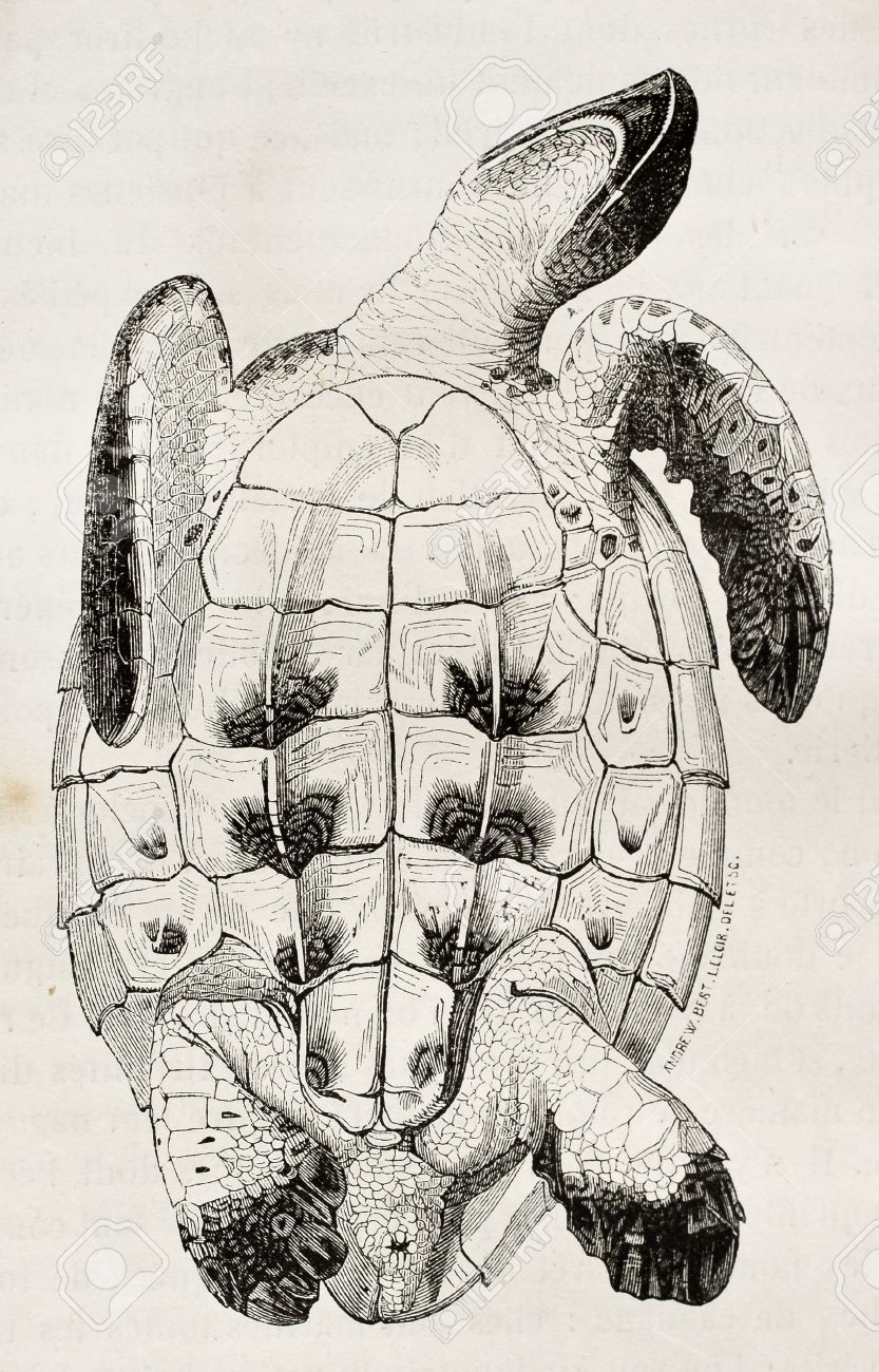 833x1300 Image Result For Turtle Shell Drawing Printmaking