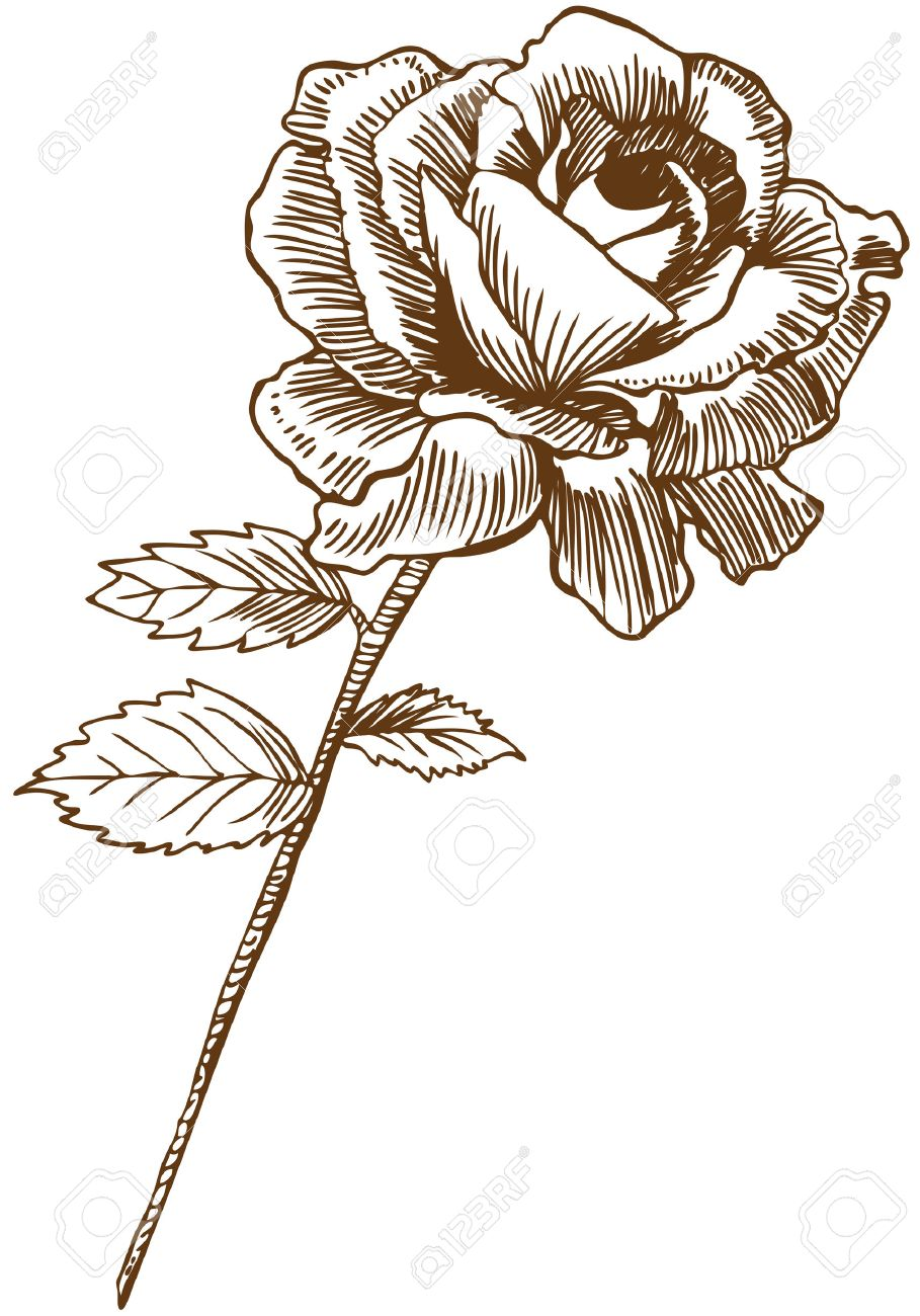 909x1300 5163287 Rose Drawing Two Beautiful Hand Drawn Rose Bloom Stem