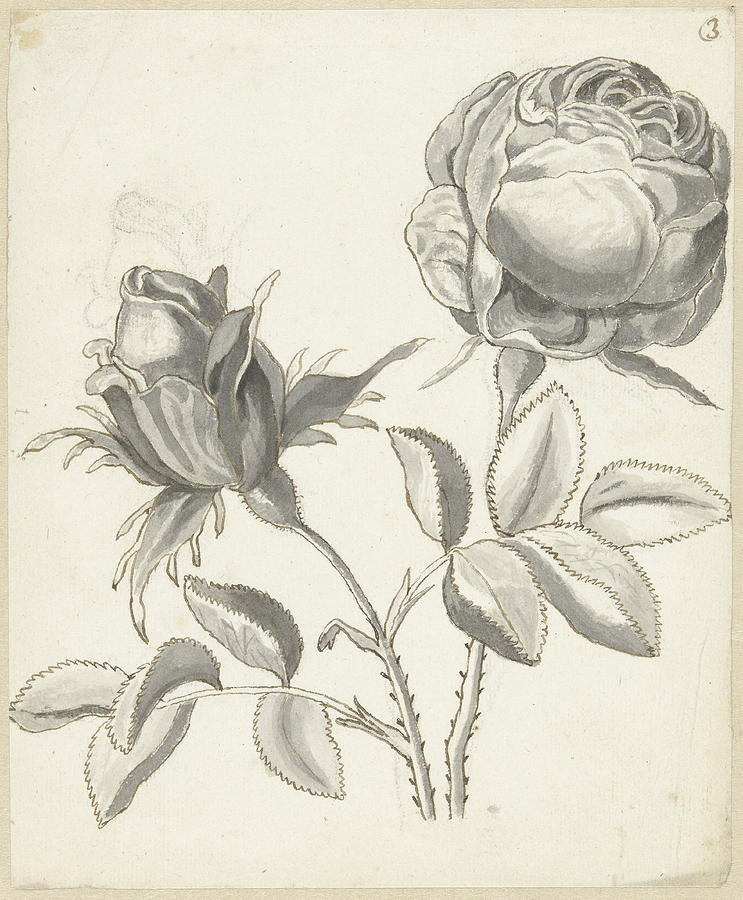 743x900 Two Roses, Bernard Picart Drawing By Quint Lox