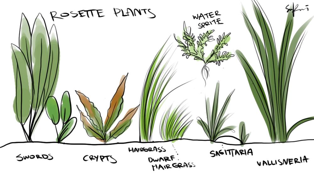 1000x565 Simple Yet Effective Id Of Aquatic Plants. (Rosette Plants