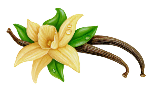 640x382 Beautiful Drawing Of The Vanilla Orchid Vanilla Orchid