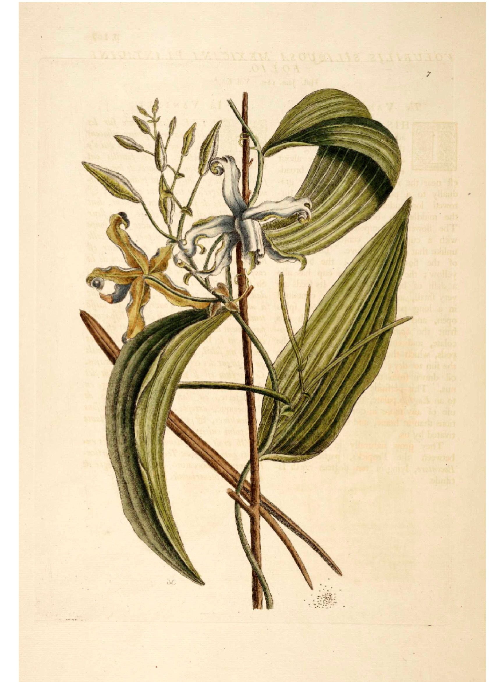 1704x2343 Botanical Catesby Vanilla Orchid.jpg Botanical