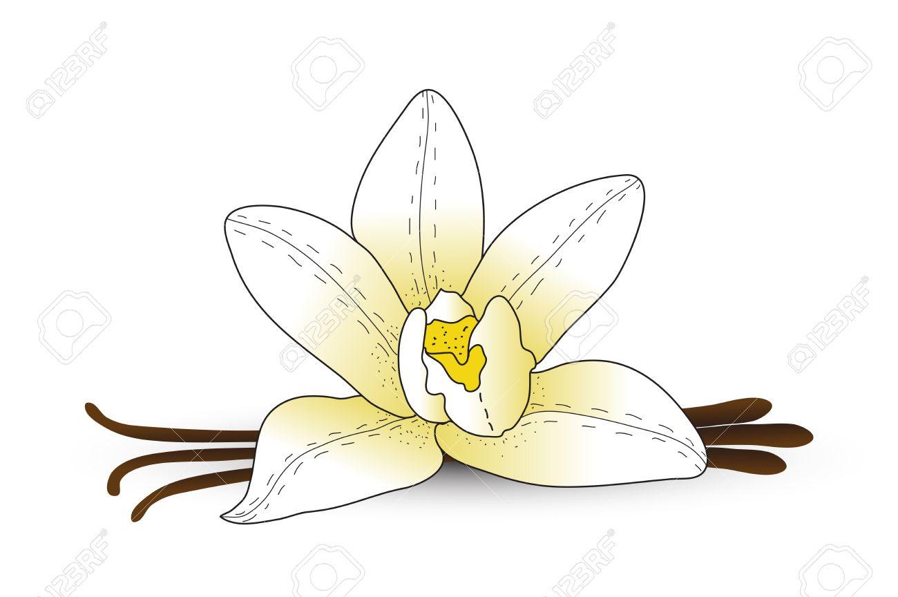 1300x864 Vanilla Flower, Vanilla Spice. Hand Drawing Style. Vector