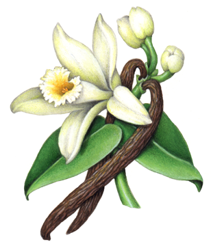 308x360 Vanilla Flower With Leaves, Buds And Two Vanilla Beans Vanilla