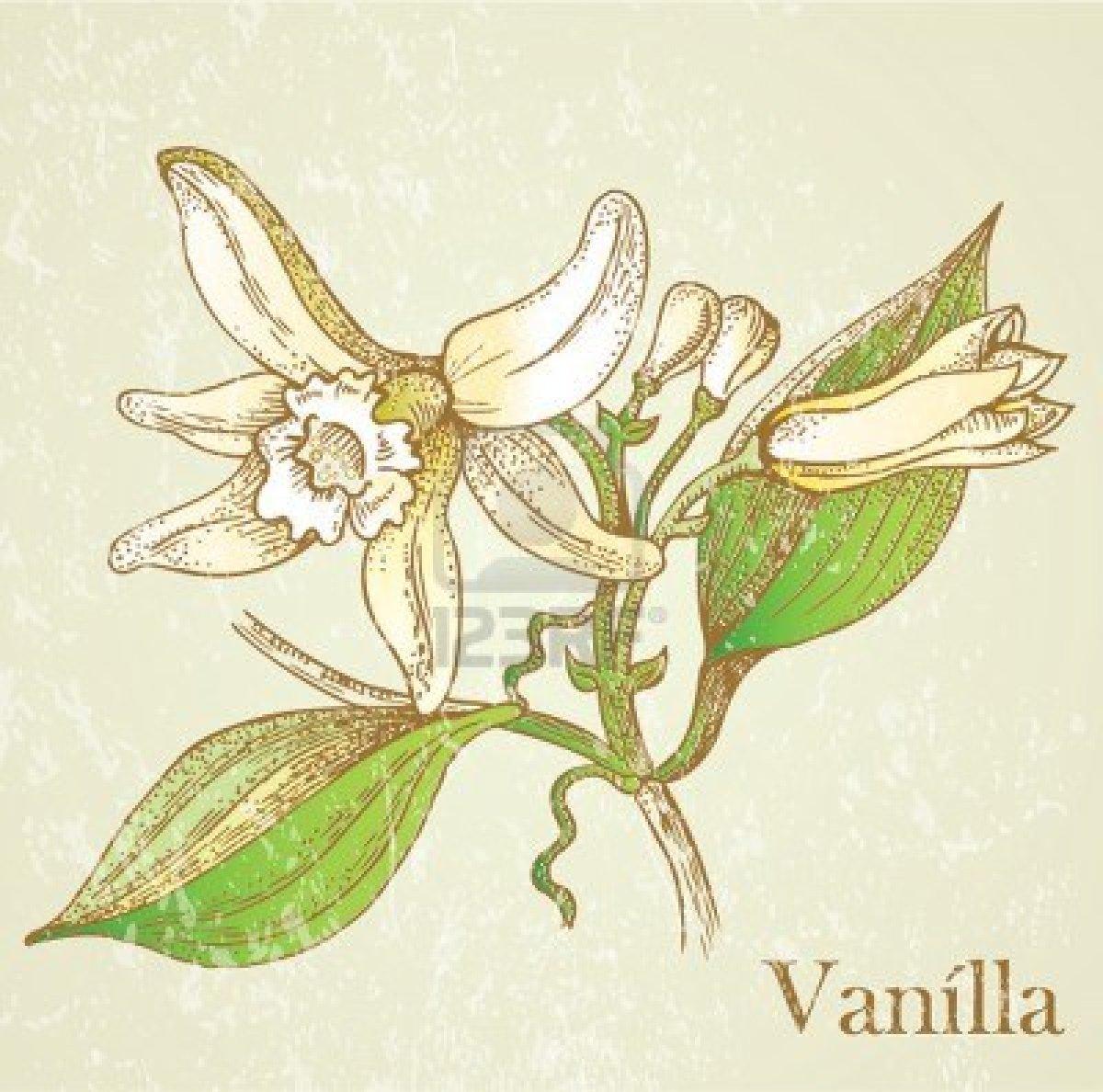 1200x1188 Vanilla Drawing Packaging Vanilla, Illustrations