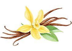 236x169 Vanilla Clipart Vanilla Flower Drawing Vanilla Bean Flower Odds