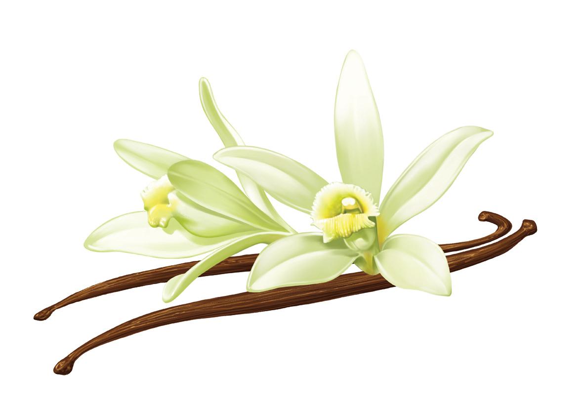 1180x834 Vanilla Flower Drawing Vanilla Flower Clipart