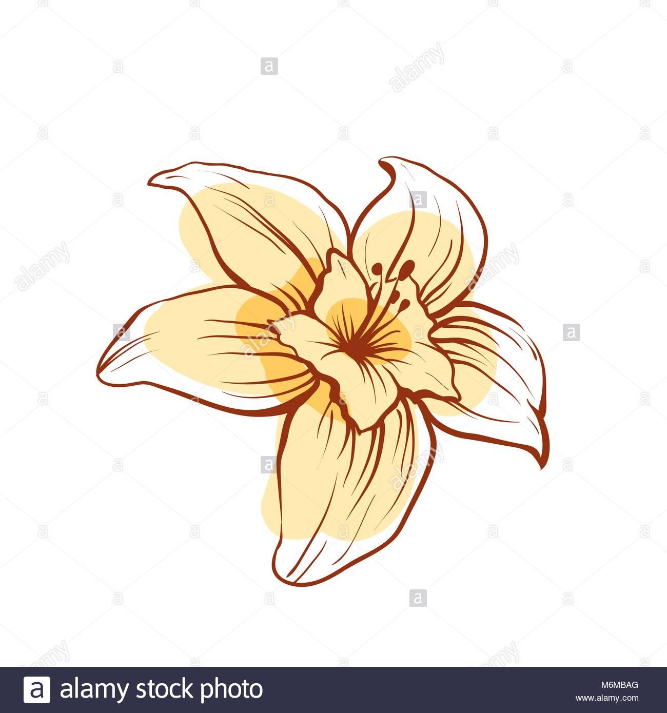1300x1390 Vanilla Flower Vector Stock Photos Amp Vanilla Flower Vector Stock